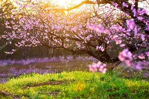 depositphotos 69449455 stock photo peach blossom and green grass